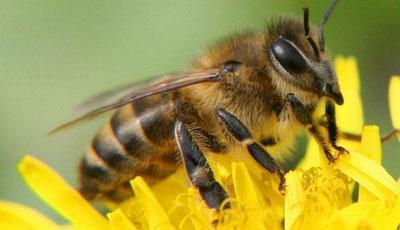Пчелиный яд делает кожу упругой