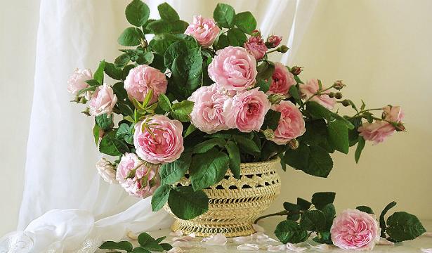 Сезон заготовок: полезные свойства чайной розы