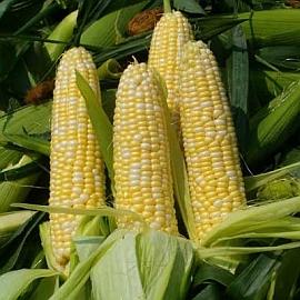 Кукурузное масло нормализует давление