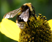Укус пчелы в половой член