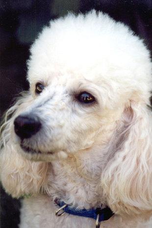 породы собак без аллергии для человека