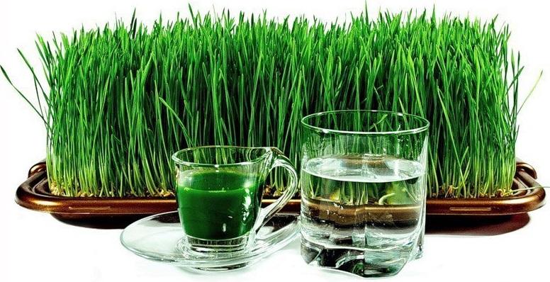 Инструкция по проращиванию ростков пшеницы