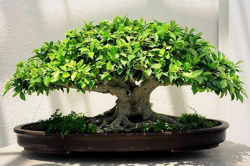 Для этого стиля подойдут деревья, которые быстро образуют воздушные корни, например, различные виды фикусов.
