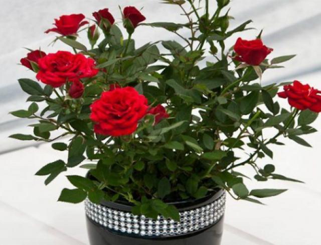 Уход за чайной розой в горшке в домашних условиях