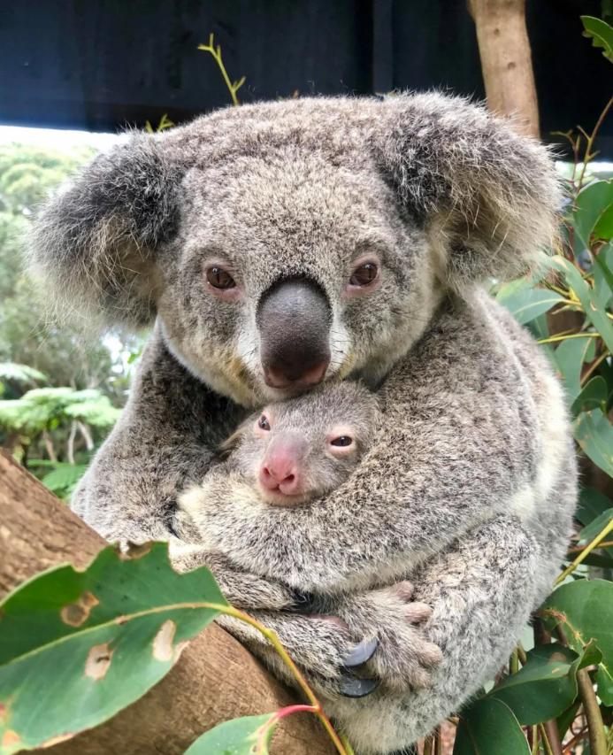 Маленькая радость: в Австралииродилась первая коала после пожаров(ВИДЕО) - фото №1