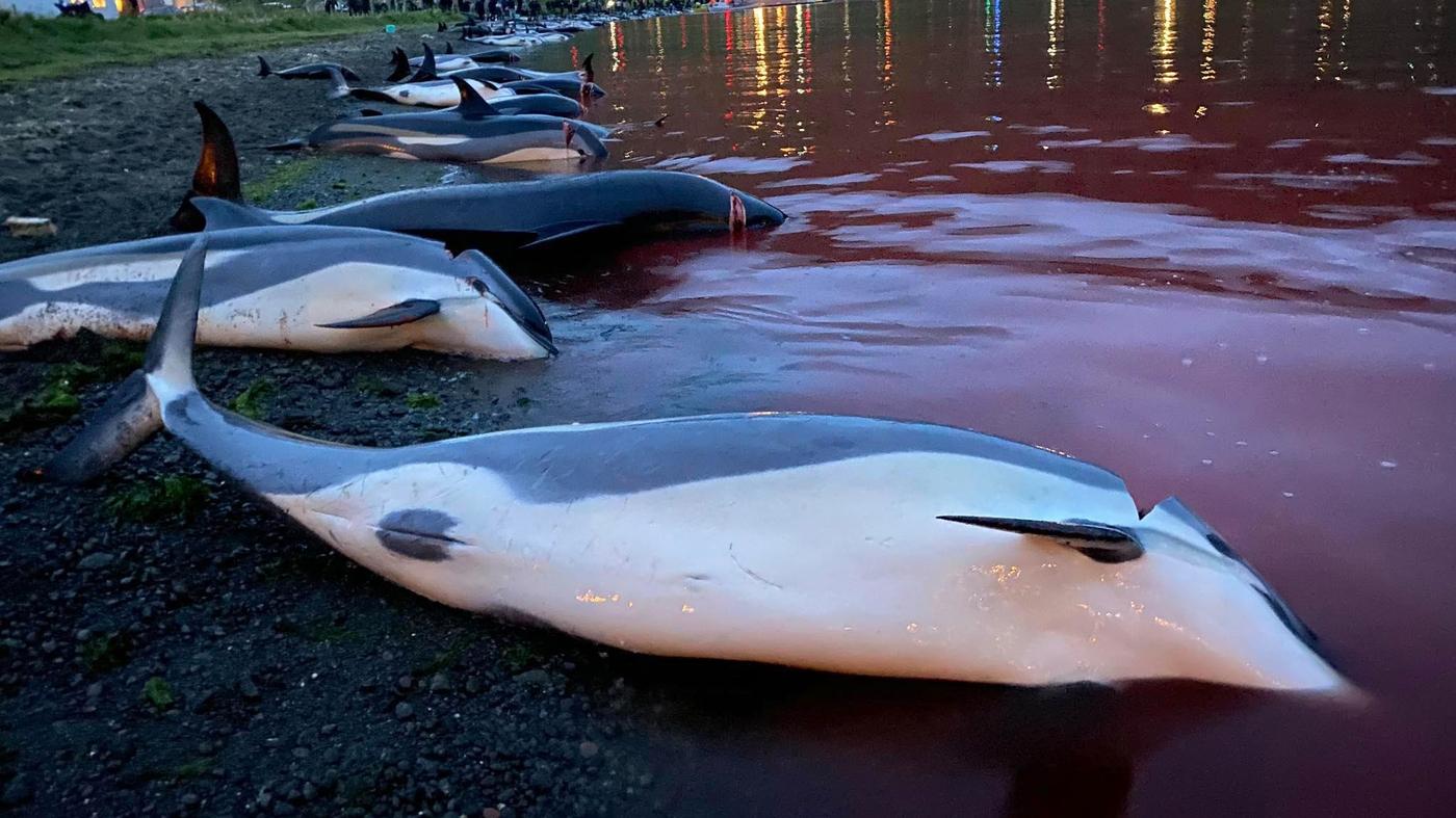 Кровавая бойня ради забавы: на Фарерах убили полторы тысячи дельфинов (ФОТО) - фото №3