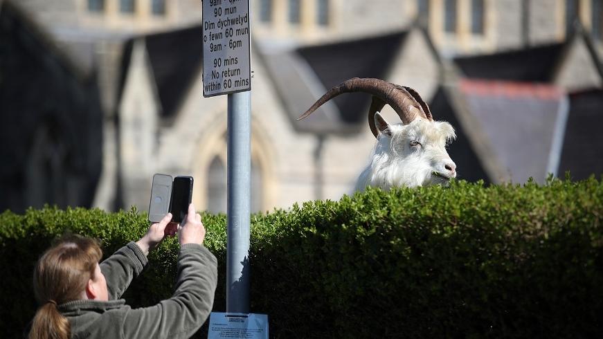 """Город в Уэльсе """"пленило"""" стадо козлов, пока местные жители самоизолировались по домам (ВИДЕО) - фото №1"""