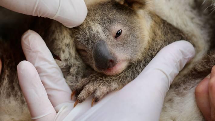 Маленькая радость: в Австралииродилась первая коала после пожаров(ВИДЕО) - фото №2