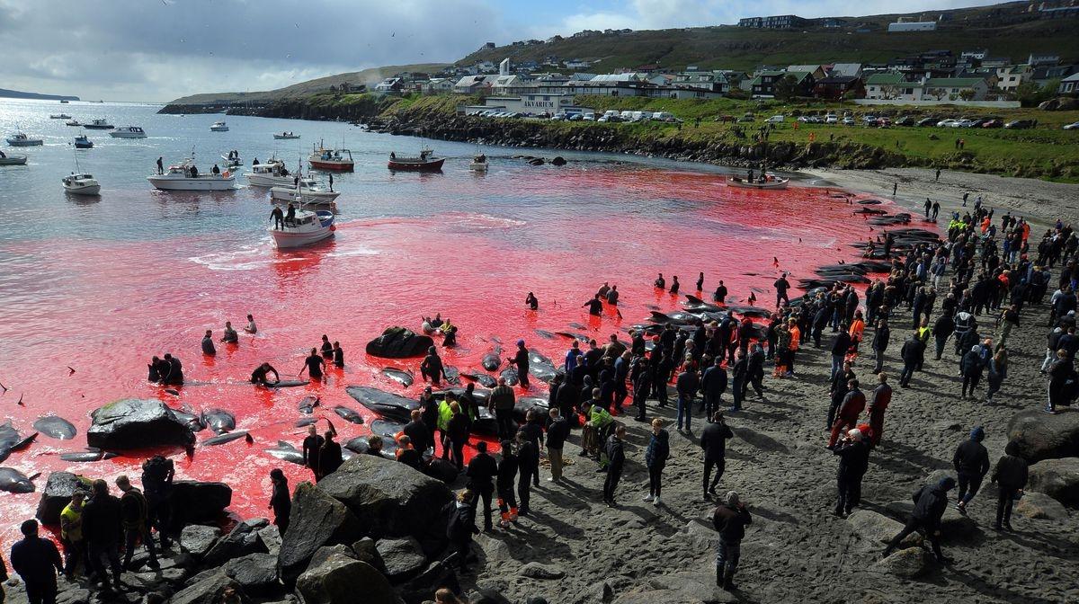 Кровавая бойня ради забавы: на Фарерах убили полторы тысячи дельфинов (ФОТО) - фото №1