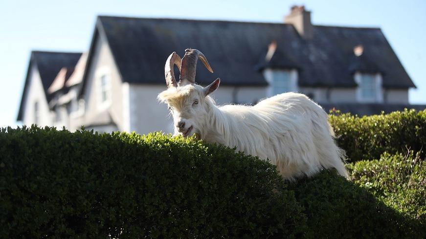 """Город в Уэльсе """"пленило"""" стадо козлов, пока местные жители самоизолировались по домам (ВИДЕО) - фото №5"""