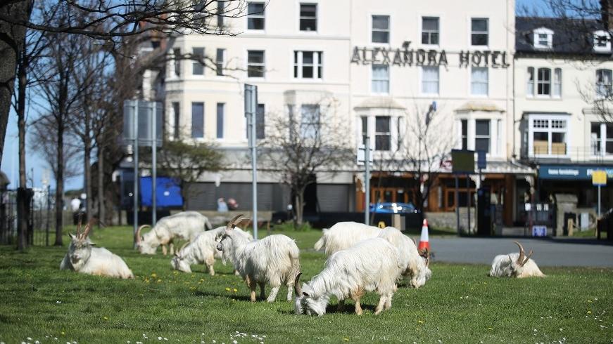 """Город в Уэльсе """"пленило"""" стадо козлов, пока местные жители самоизолировались по домам (ВИДЕО) - фото №2"""