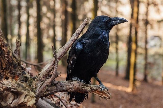 чорний ворон интересные факты