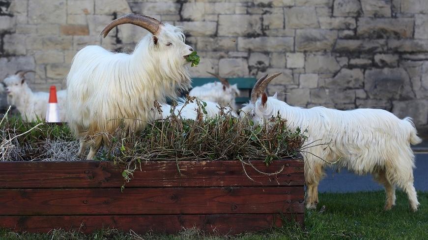 """Город в Уэльсе """"пленило"""" стадо козлов, пока местные жители самоизолировались по домам (ВИДЕО) - фото №3"""