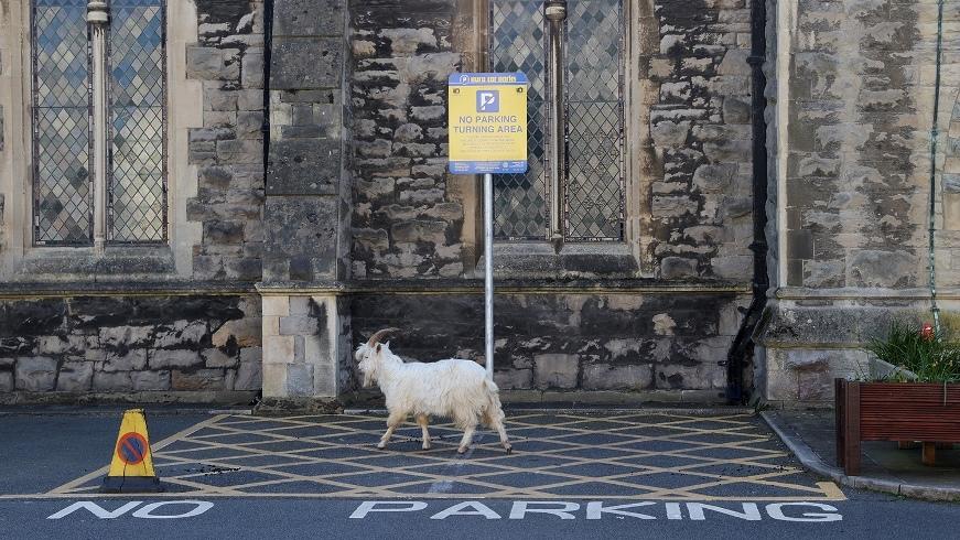 """Город в Уэльсе """"пленило"""" стадо козлов, пока местные жители самоизолировались по домам (ВИДЕО) - фото №6"""