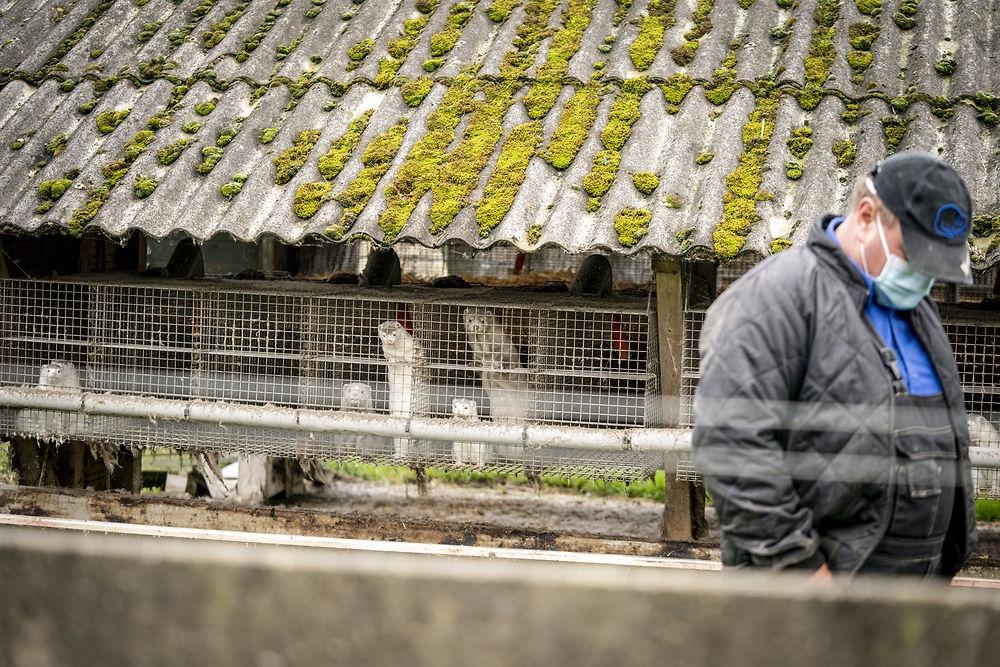 В Дании из-за коронавируса уничтожат 17 миллионов норок - фото №2