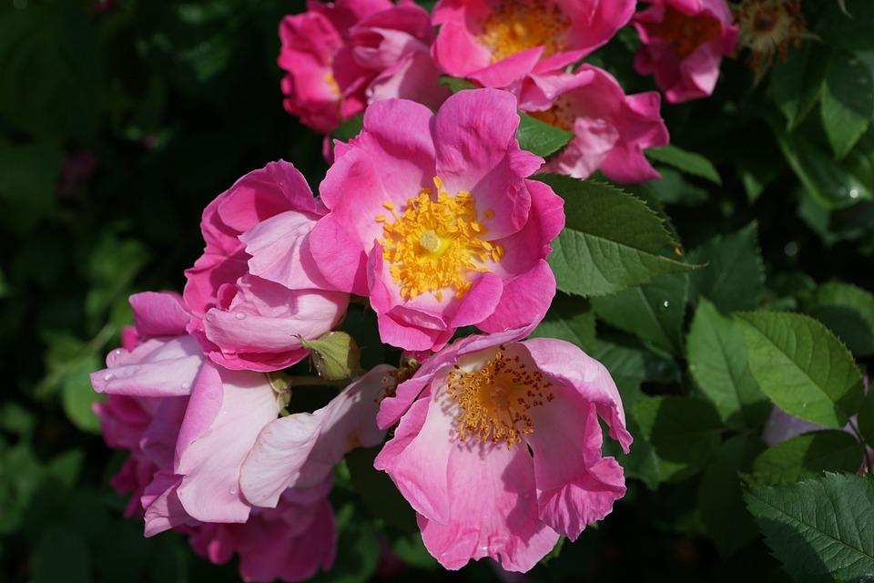чайная роза рецепты