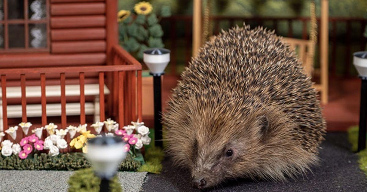 В Великобритании открылся первый в мире парк для ежей: смотрите, как он выглядит (ФОТО+ВИДЕО) - фото №3