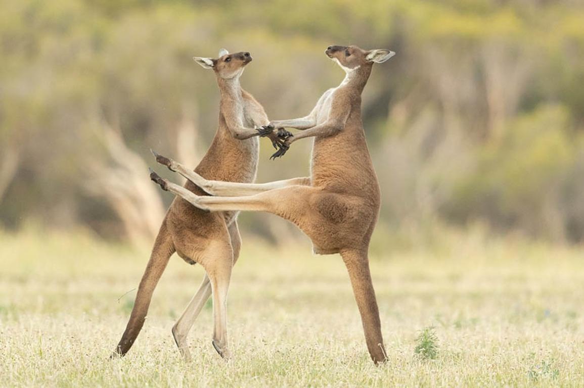 Comedy Wildlife Photography Awards опубликовала самые комичные фото животных - фото №11