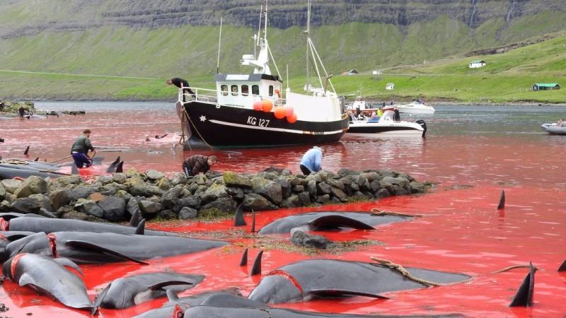 Кровавая бойня ради забавы: на Фарерах убили полторы тысячи дельфинов (ФОТО) - фото №2